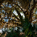 In The Shade Of A Florida Oak by Christopher Holmes