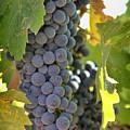 In The Vineyard by Nancy Ingersoll