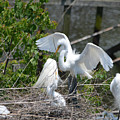 In The Wild White Snowy Egrets Photography ....photo A by Barb Dalton