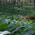 In The Wood Of Wild Garlic by Andreas Levi