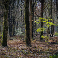 In The Woods Of Ireland's Coole Park by James Truett