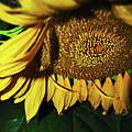 In Your Face Sunflower by George D Gordon III