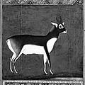 India: Black Buck by Granger