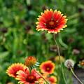 Indian Blanket Flower by Francie Davis
