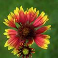 Indian Blanket Flower - Gaillardia by Mitch Spence