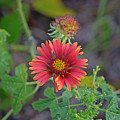 Indian Blanket Flower by Kenneth Albin