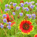 Indian Blanketflowers Gaillardia Puchella by Dave Welling