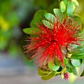 Indian Bottlebrush Flower by Sonali Gangane