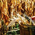 Indian Corn by Aaron Burden