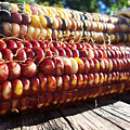 Indian Corn On The Cob by Shawna Rowe