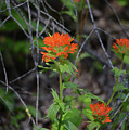 Indian Paint Brush 2 by Whispering Peaks Photography