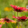 Bright Indian Blanket by Jeanette Fiveash
