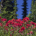 Indian Paintbrush by Richard Reinders