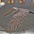 Indian Pelican 2 by Moses Malone