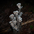Indian Pipe by Sheila McDowell
