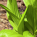 Indian Poke -veratrum Veride- by Erin Paul Donovan