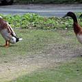 Indian Runner Ducks by Dave Philp