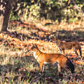Indian Wild Dogs Dholes Kanha National Park India by Liz Leyden