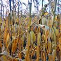 Indiana Corn 1 by Tina M Wenger