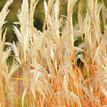 Indiangrass by Lana Raffensperger
