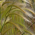 Indiangrass Swaying Softly With The Wind by Christine Till
