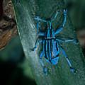 Indigo Blue Weevil by Douglas Barnett
