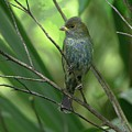 Indigo Bunting - Felts Nature Preserve - Ellenton Florida by Herbert L Fields Jr