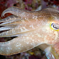 Indonesia, Cuttlefish by Dave Fleetham - Printscapes