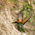 Inflight Feeding Bee Eater by Cliff Norton