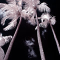 Infrared Palm Trees by Adam Romanowicz