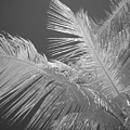 Infrared Palm Trees by Chad Kroll