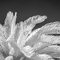 Infrared Sago Palm by Kimberly Blom-Roemer
