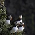 Ingolfshofthi Puffins Iceland 2855 by Bob Neiman