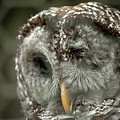 Injured Owl by Travis Rogers