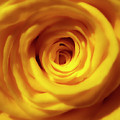 Inner Beauty Of A Rose by Johanna Hurmerinta