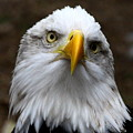 Inquisitive Eagle by Barbara Bowen