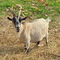 Inquisitive Goat by Carla Parris