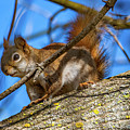 Inquisitive Squirrel by Steve Harrington