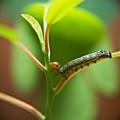Insect Larva 5 by Douglas Barnett