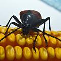 Inspecting Beetle by Douglas Barnett