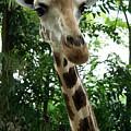 Inspector Giraffe by Marie Loh