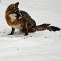 Intent Red Fox by Douglas Barnett