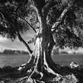 Intercoastal Pine by Marvin Spates