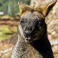 Interview With A Swamp Wallaby by Miroslava Jurcik