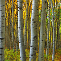 Into The Aspens by Eggers Photography