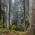 Into The Redwood Forest by Greg Nyquist