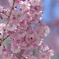 Into The Sakura - Japanese Cherry Blossom by Christina Gupfinger