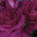 Intrigue Rose by Marta Robin Gaughen