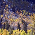 Inyo Aspens by Norman Andrus