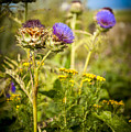 Iona Thistle by Laurence Ventress